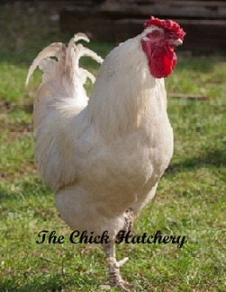 Rhode Island Red And Brahma Cross
